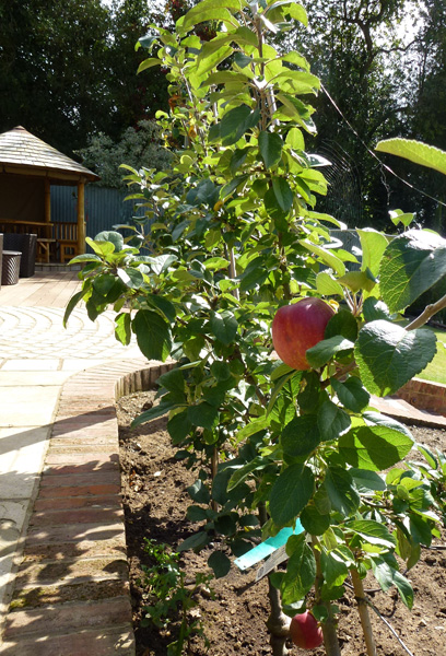 espaliered apples in country garden