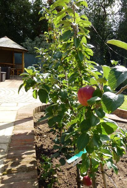 espaliered apples in country garden
