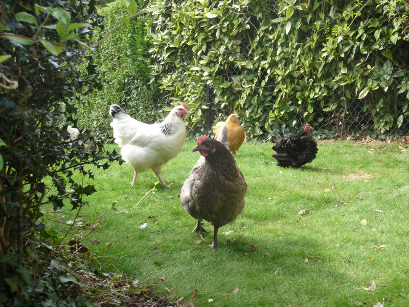 Country garden designed with chickens in mind
